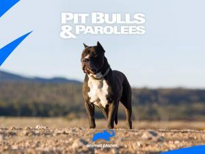 Pitbulls and Parolees